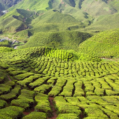 Grüner Tee Extrakt, 500 mg